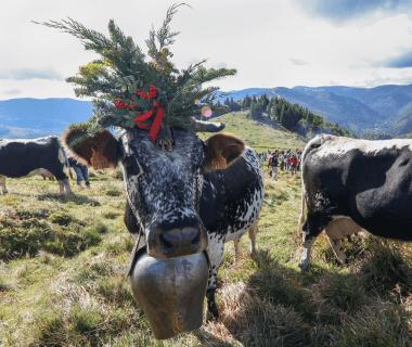 Vaches vosgiennes - Transhumance