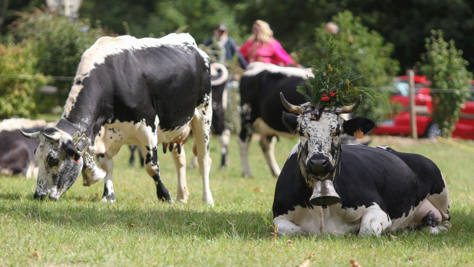 Vaches vosgiennes- Transhumance