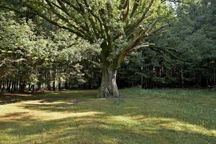 Le gros chêne de Salm