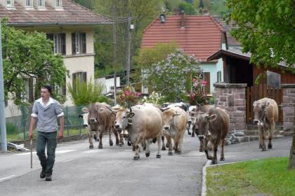 Transhumance dans la vallée de Munster: ferme du Treh et Uff Rain - Montée