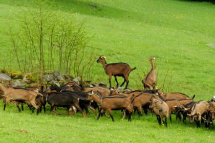 Chèvrerie du Londenbach