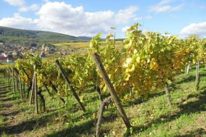 Vignoble d' Orschwihr Crédit: Thomas Studer