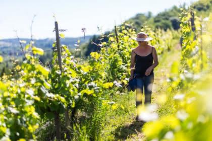 Vue sur le vignoble et la plaine d'Alsace © ILLPROD