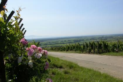La roseraie et le Grand Cru Hatschbourg, Pays de Rouffach, Vignobles et Châteaux, Haut-Rhin, Alsace (Communauté de communes)
