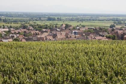 La promenade du Grand Cru Steinert, Pays de Rouffach, Vignobles et Châteaux, Haut-Rhin, Alsace