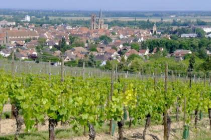 La promenade du Grand Cru Vorbourg, Pays de Rouffach, Vignobles et Châteaux, Haut-Rhin, Alsace (Patrice André - Mairie de Rouffach)