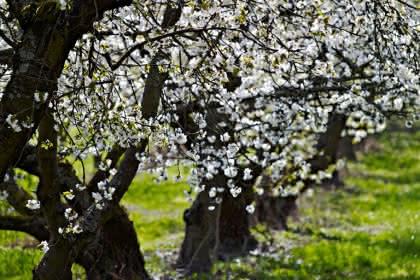 Cerisiers - ©S.Spach